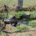 Alligator in pen at McNeese State University, March 2009